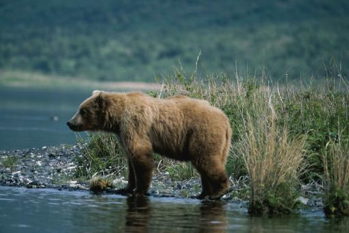 Free Stock Photo of Brown Bear Hunting