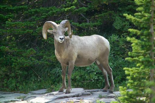 Free Stock Photo of Big Horn Sheep