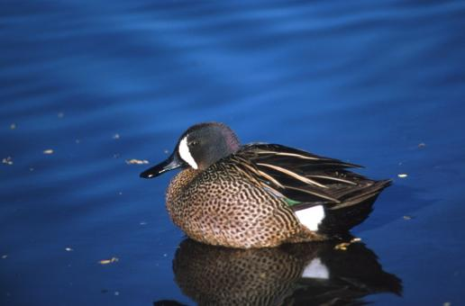 Free Stock Photo of Blue Winged Teal