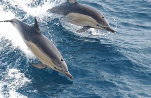 Free Stock Photo of Common Dolphins
