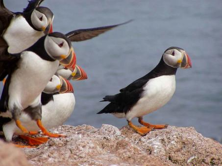Free Stock Photo of Atlantic Puffins