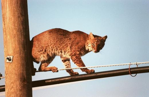 Free Stock Photo of Bobcat on the Rope