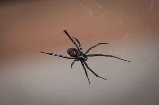 Free Stock Photo of Black Widow Spider