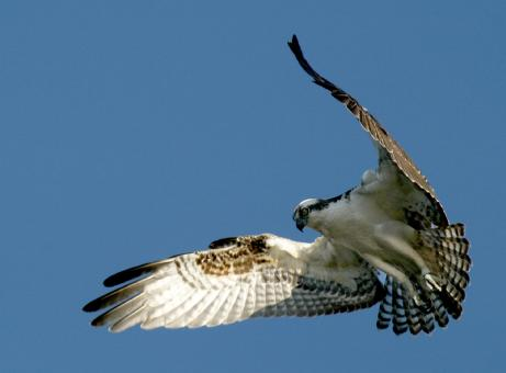 Free Stock Photo of Osprey Hunting