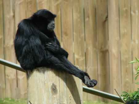 Free Stock Photo of Siamang in the Zoo