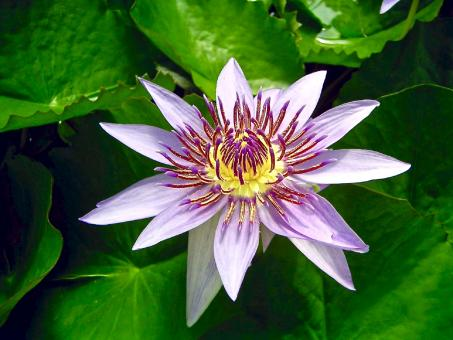 Free Stock Photo of Blue Egyptian Lotus