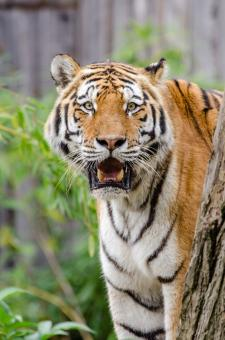 Free Stock Photo of Siberian Tiger