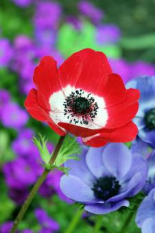 Free Stock Photo of Red Anemone Flower