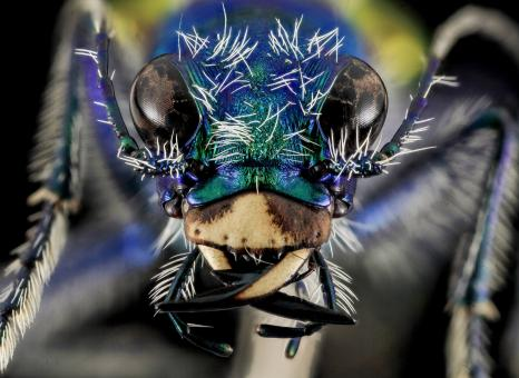 Free Stock Photo of Festive Tiger Beetle