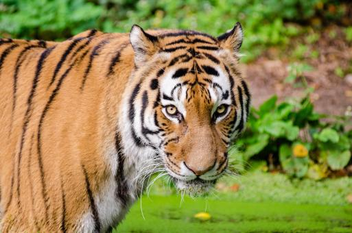 Free Stock Photo of Beangal Tiger