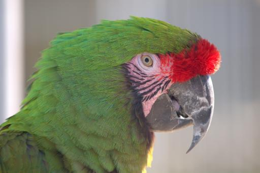 Free Stock Photo of Military Macaw