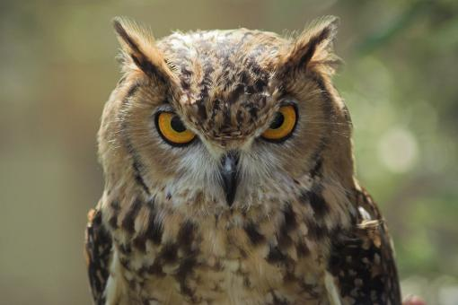 Free Stock Photo of Owl Staring