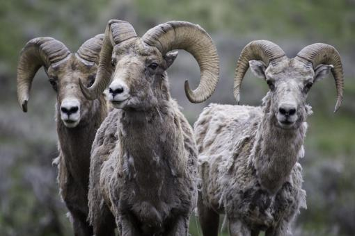 Free Stock Photo of Longhorn Sheep