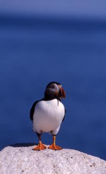 Free Stock Photo of Atlantic Puffin