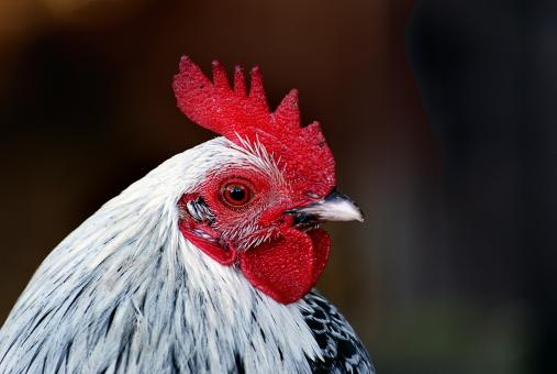 Free Stock Photo of Hen Closeup