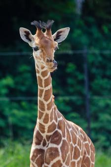 Free Stock Photo of Giraffe Baby