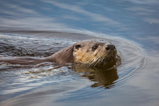 Free Stock Photo of River Otter