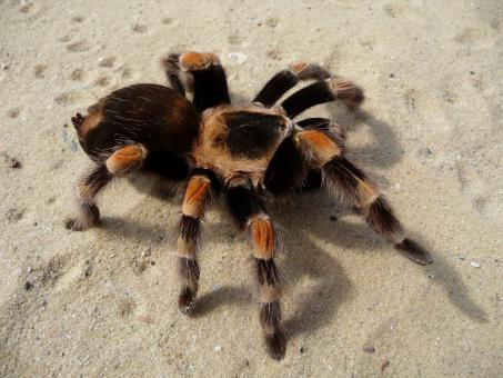 Free Stock Photo of Wild Tarantula