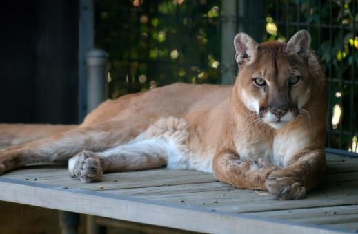 Free Stock Photo of Wild Cougar