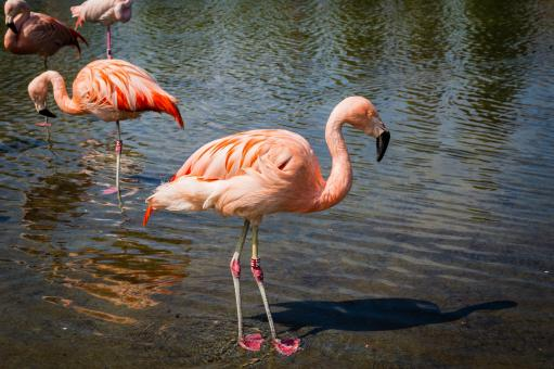 Free Stock Photo of Flamingos Hunting