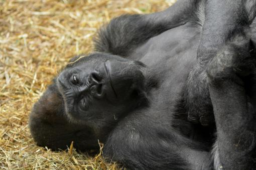 Free Stock Photo of Gorilla in the Zoo