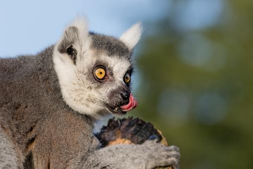 Free Stock Photo of Ring Tailed Lemur