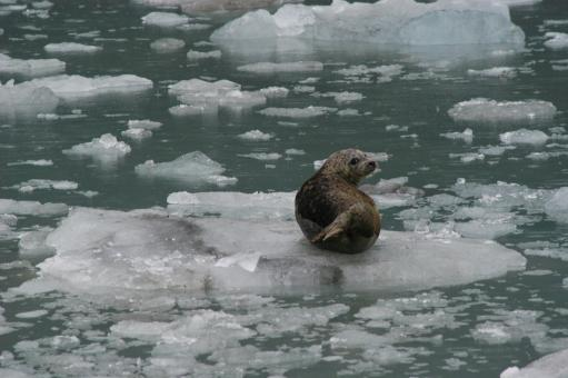 Free Stock Photo of Seal on the Ice