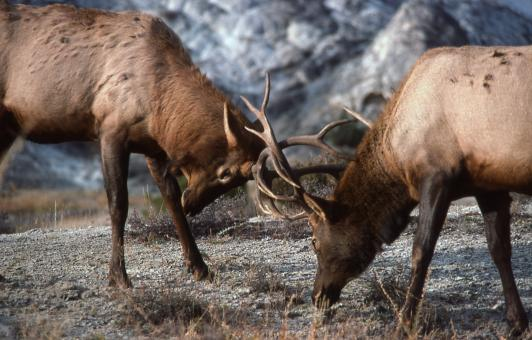 Free Stock Photo of Bull Elk Fight