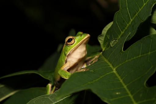 Free Stock Photo of Emerald Eyed Tree Frog