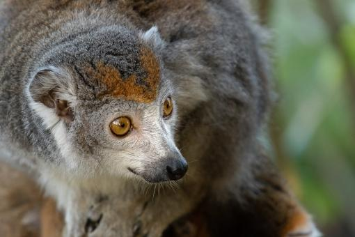 Free Stock Photo of Crowned Lemur