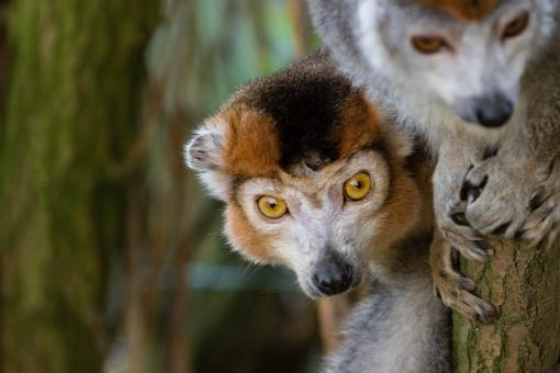 Free Stock Photo of Crowned Lemurs