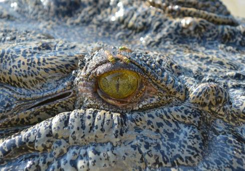 Free Stock Photo of Saltwater Crocodile