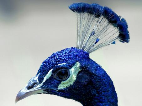 Free Stock Photo of Blue Peacock