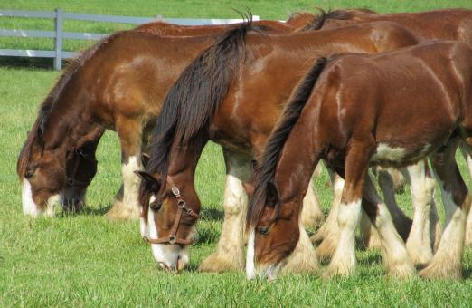 Free Stock Photo of Clydesdales Farm