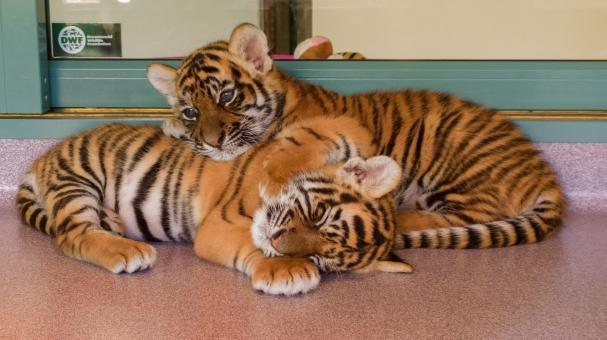 Free Stock Photo of Little Tigers