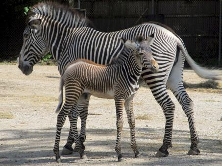 Free Stock Photo of Zebras in the Zoo