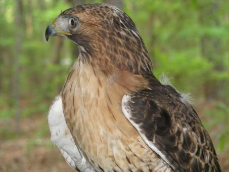 Free Stock Photo of Red Tailed Hawk
