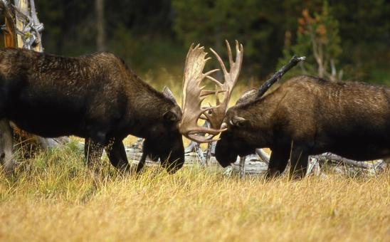 Free Stock Photo of Bull Moose Fight