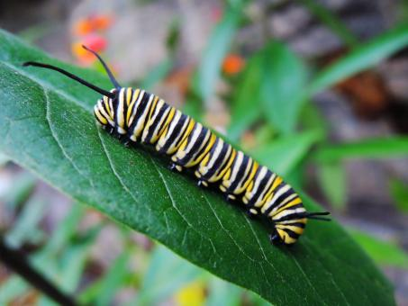 Free Stock Photo of Caterpillar on the Leave