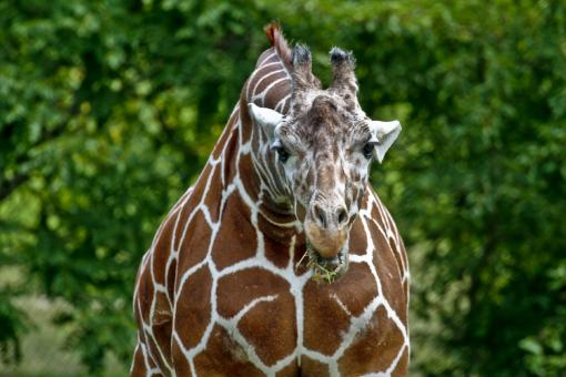 Free Stock Photo of Wild Giraffe