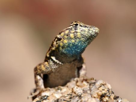 Free Stock Photo of Side Blotched Lizard