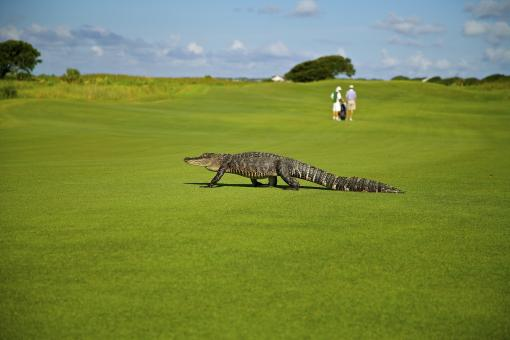 Free Stock Photo of Alligator on Course