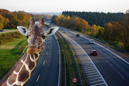 Free Stock Photo of Zebra on the Highway
