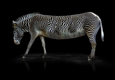 Free Stock Photo of Wild Zebra