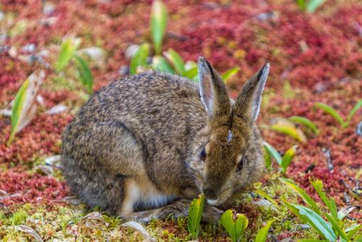 Free Stock Photo of Snowshoe Hare