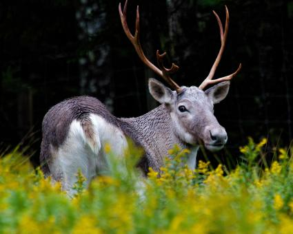 Free Stock Photo of Caribou