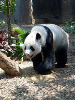 Free Stock Photo of Panda in the Zoo