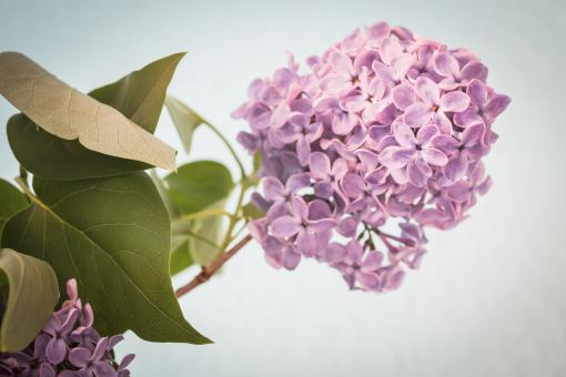 Free Stock Photo of Fresh Lilac Flowers