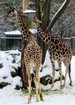 Free Stock Photo of Giraffe Couple