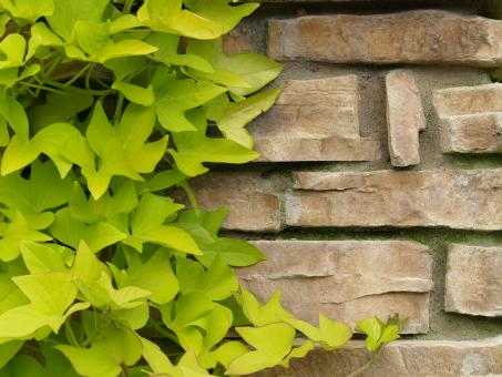 Free Stock Photo of Ivy on Brick Wall